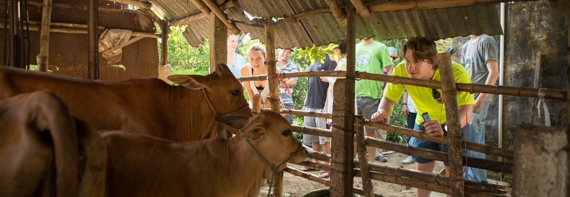 Student and Cows