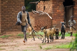 Boys with goats in Wimbe Village.