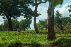 Malawians attend their corn crops.