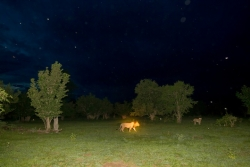 Lions hunt during the evening in the South Luangwa National Park in Zambia.